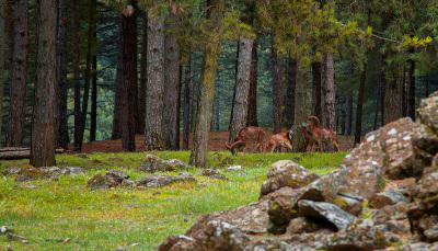 Mufloni al Giadino Alpino di Pietra Corva (Romagnese)