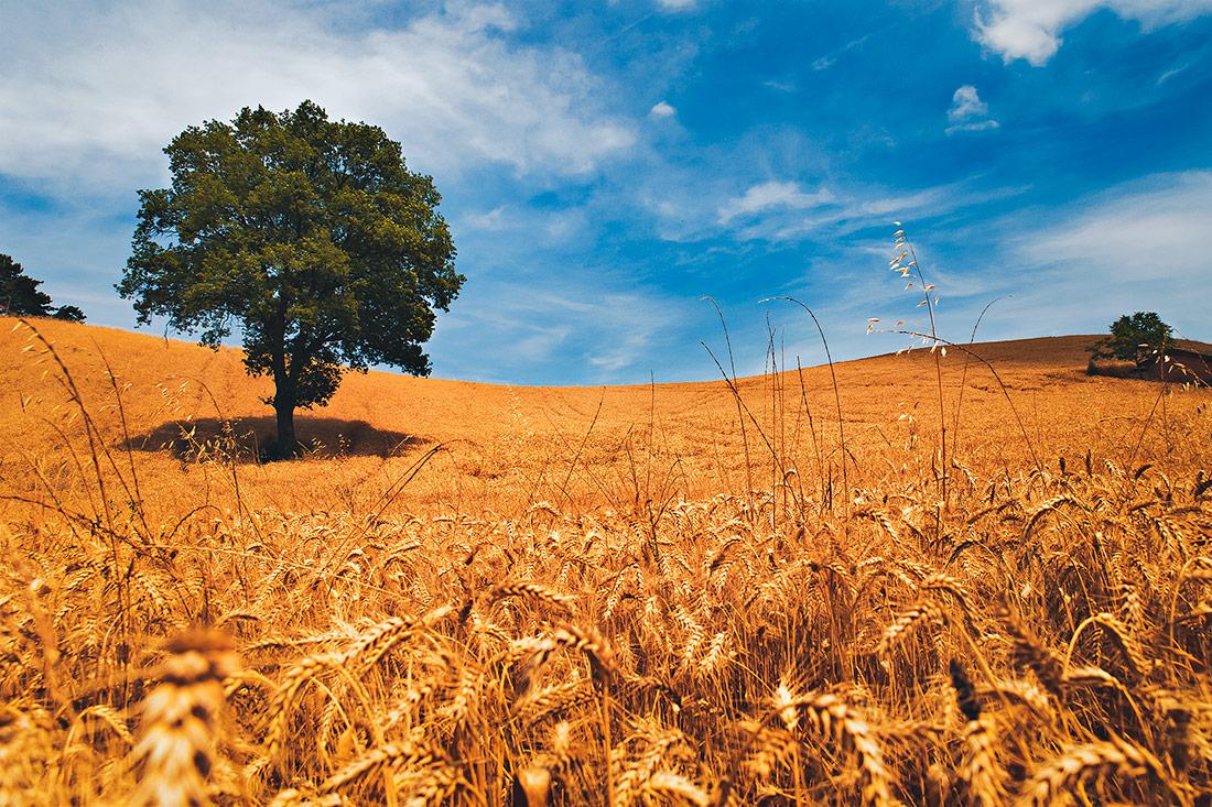 Torre degli Alberi campi di grano