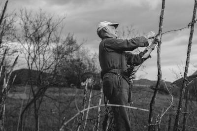 Valle Staffora - La legatura delle viti