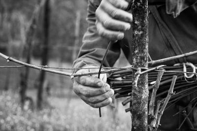 Valle Staffora - La legatura delle viti con i salici