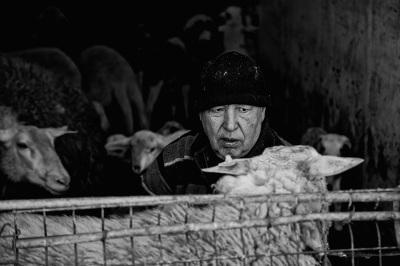 Val Trebbia - La mungitura