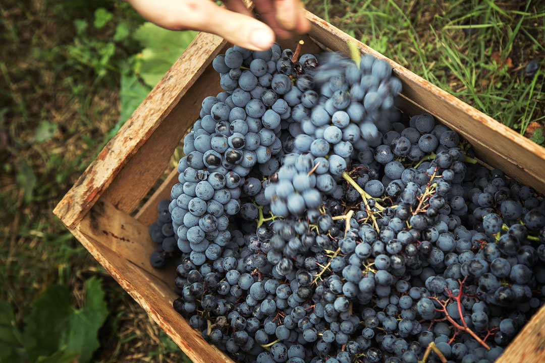 Vendemmia oltrepo pavese uva cassetta legno