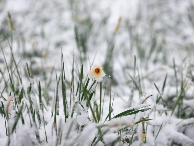 Narcisi Selvatici Nevicata